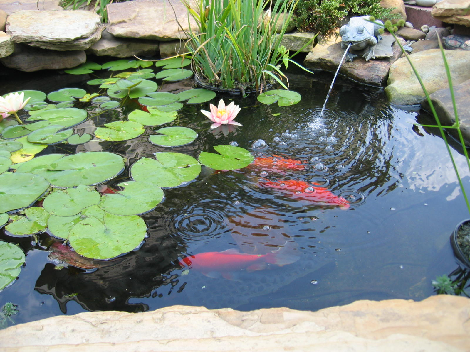 Small pond beautiful koi fish innovative backyard water for Small pond ideas pictures